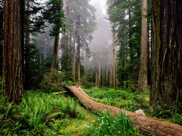 California.Fallen-Nurse-Log-Redwood-National-Park-600