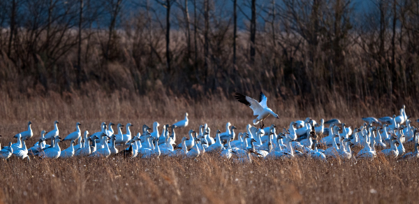 Delaware 1 snow-geese-at-bombay-hook-nwr.600
